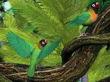 Black-cheeked Lovebirds