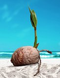 Coconut sprout at the beach