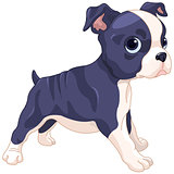 Boston Terrier Cub