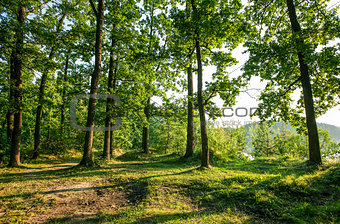 Sunny glade in oaken forest with high green tree