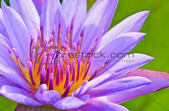 Close up pollen of purple lotus ( Nymphaea Nouchali )