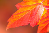 Macro of Beautiful Autumn leaves on defocused  background