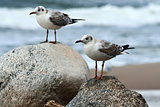 Two gulls sitting on the rocks