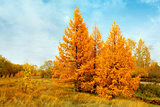 yellow autumn conifers