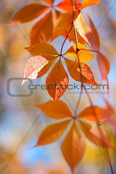Beautiful Autumn leaves on defocused  background