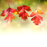 Border of  Autumn Red colorful Leaves  on white background
