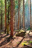 The spruce forest