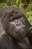 Close-up of silverback gorilla looking at camera