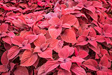 red leaf foliage background