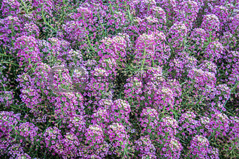 background of flowering labularia shrub