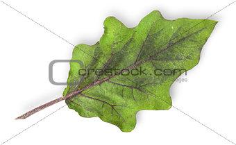 Single green leaf of eggplant