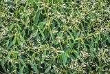 background of flowering euphorbia plant