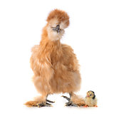 silkie chicken and chick