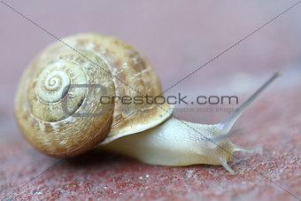 Small snail gliding