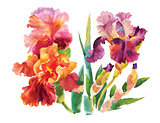 Flower of iris drawing by watercolor, hand drawn vector illustration