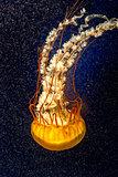 Orange jellyfish on the dark background