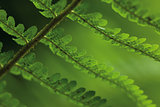 leaves of fern