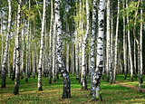Sunny autumn birch grove