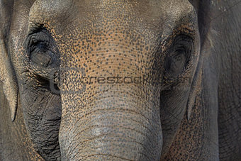 Asian Elephant Closeup Portrait Abstract