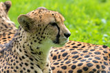 Cheetah Closeup Portrait