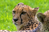 Cheetah Looking Around Closeup Portrait