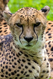 Cheetah Looking Forward Portrait