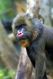 Mandrill Monkey Male