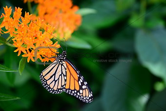 black orange monarch tiger Butterfly insect