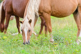 Brown horse mares.