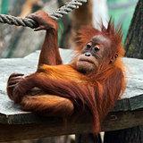 Young orangutan