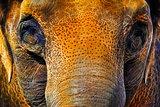 Asian Elephant Neon