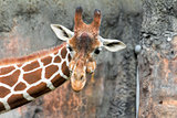 Giraffe with Puffy Cheeks