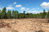 pine forest with slot for planting new pines