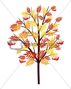 Autumn Rowan Tree