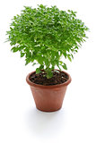 bush basil, greek basil