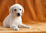 the yellow labrador puppy on orange background