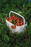 Ripe sweet strawberries in plastic basket on a green lawn. Outdoor