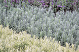 lavandula (lavender) foliage background