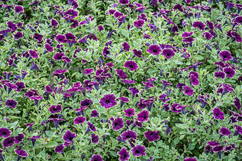 background of burgundy petunia flowers