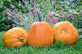 pumpkins in backyard