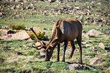 Elk in Velvet