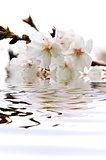 Cherry blossom in water
