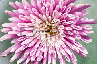 Chrysanthemum flower closeup