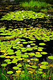 Lily pads on lake