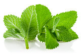 Fresh green leaf mint