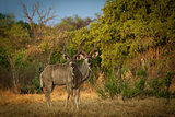 Greater Kudu Antelopes