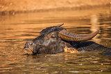 Water Buffalo in the water