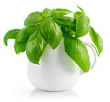 Fresh leaves basil in white vase
