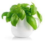 Fresh leaves basil in white vase