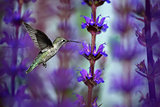 Hummingbird drinking from lavender